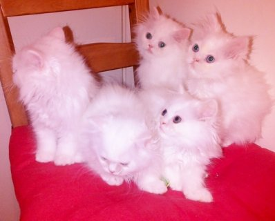 Snow-White Persian Kittens