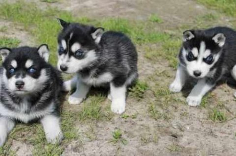 صور THEY LOVE TO PLAY WITH KIDS(( SIBERIAN HUSKY PUPPIES READY FOR G 1