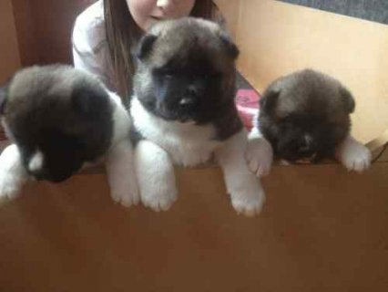 صور LOVELY AKITA PUPPIES READY TO GO 1