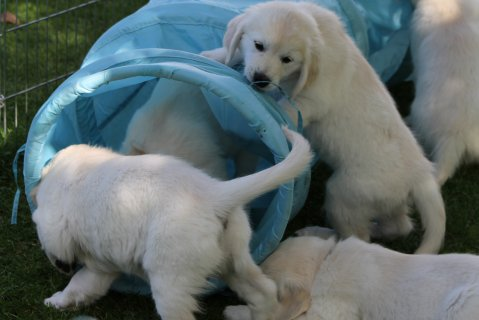 BEAUTIFUL, BRILLIANT NATURE Golden Retriever puppies
