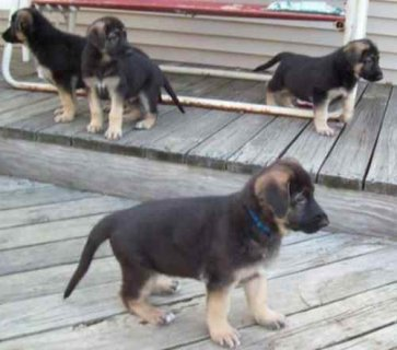 German shepherd puppies for good home