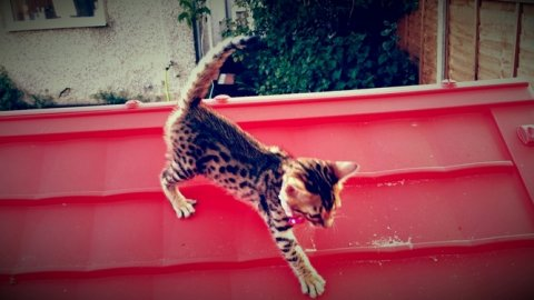 noble Bengal kitten for re homing
