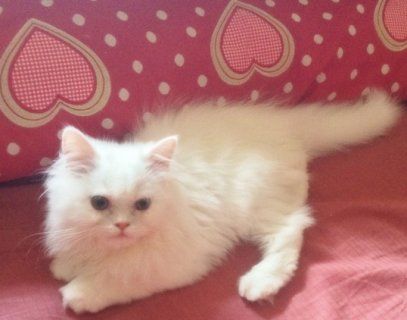 صور Snow-White Persian Kittens For Xmass  Present! 1