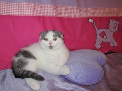 Scottish fold  kittens(Tala) going for ever