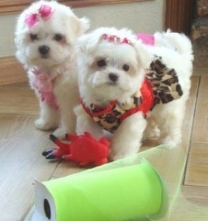 Nice Maltese Puppies Ready For A new Home!!