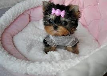 صور Beautiful Teacup Yorkie Puppies 1