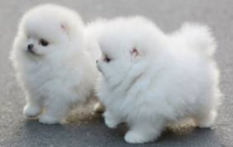 صور White Teacup Pom Puppies 1