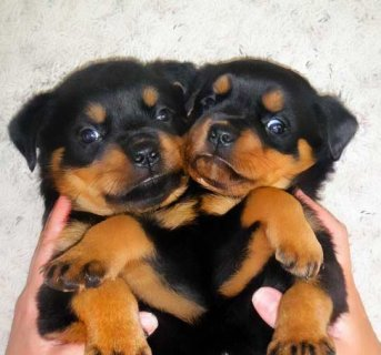 Home trained  Rottweiler Puppies for Adoption
