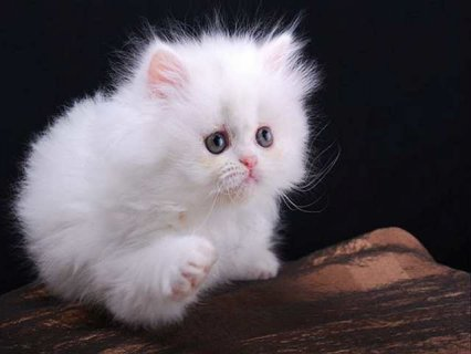 صور BEAUTIFUL SOLID WHITE BLUE EYED PERSIAN FEMALE KITTEN 1