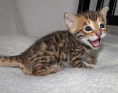 adorable Bengal kittens ready to go