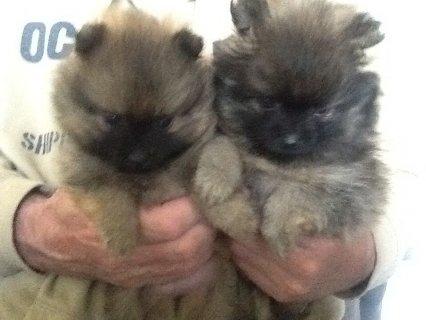 Micro Teacup Pomeranian Puppies For Sale Happy X_mas