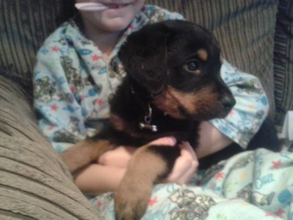 X Mas Rottweiler puppies Available.