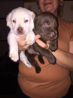 صور Gorgeous Labrador Retriever Puppies For Sale 1