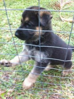 صور Top Quality German shepherd German Shepherd for Adoption 1