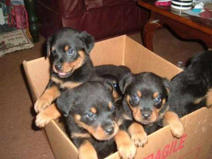 صور Rottweiler Puppies ready to move into a new home 1
