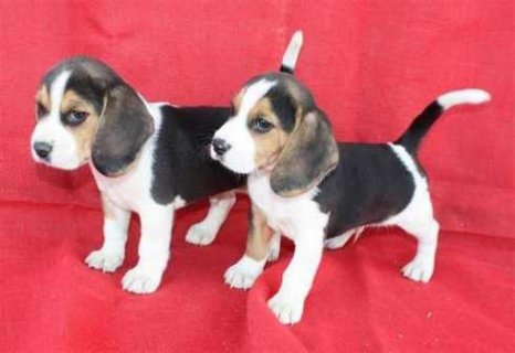 Male And Female Pure Breed Beagle Puppies For Adoption. Belarus,