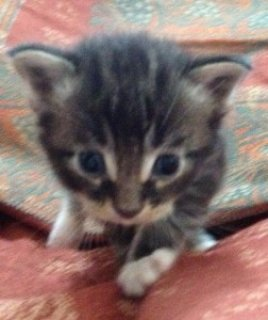 Maine Coons Male And Female Kittens For X Mas