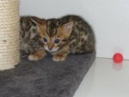 Brown Black Rosetted Pedigree Bengal Kittens