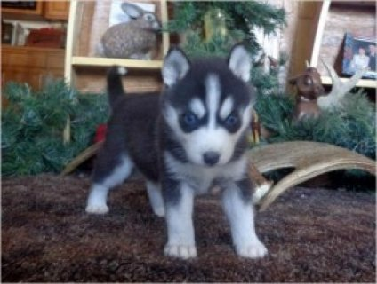 X_Mas Siberian Husky Puppies For Re-homing