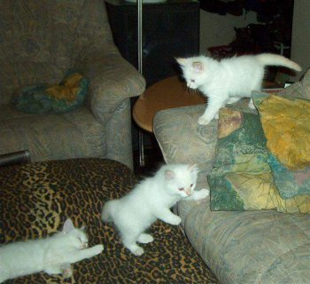 White And Grey Siberian Kittens Available For X_Mas