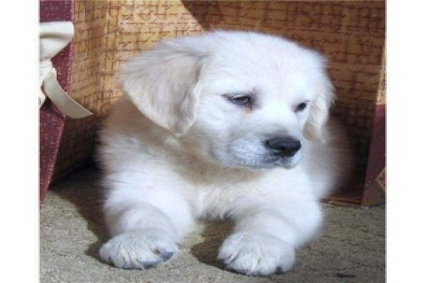 صور Golden Retriever puppies available for christmas  1