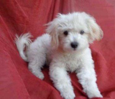 12 Week Old Maltipoo Puppies