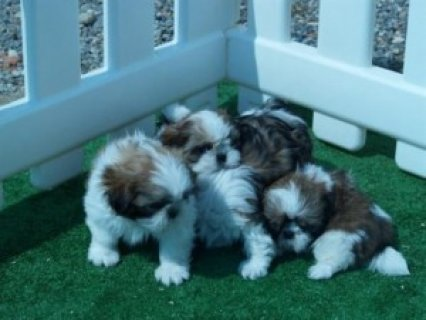 صور Litter of shih-tzu puppies spectacular For Sale 1