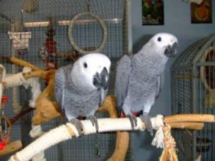 صور Talking African Grey Parrots for Sale>>>>>>>>>> 1