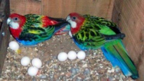 Fertile Parrot Eggs Available>:>>>>>>