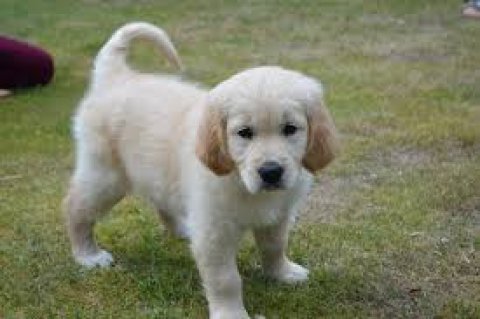 Champion golden retriever Puppies