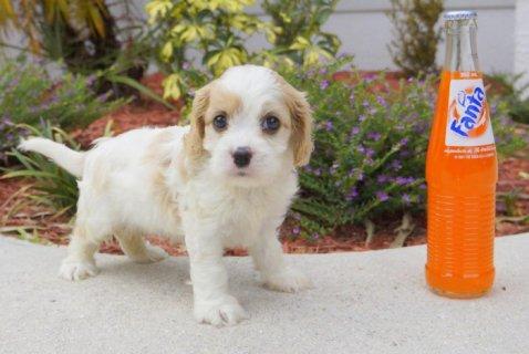 Cavachon Designer Breed Male and Female Pups! (Cavalier and Bich