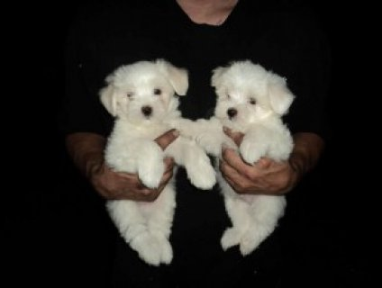صور Tiny Teacup Maltese Puppies Available 1