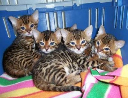صور cute adorable Bengal kittens are ready 1