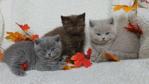صور   British shorthair Kitten's 1