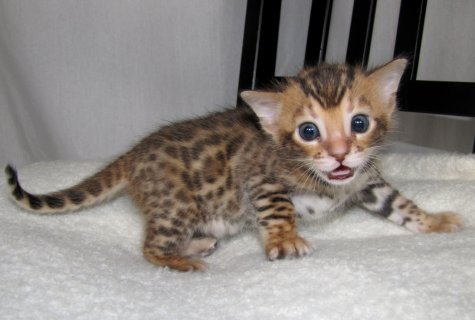 two beautiful Bengal kittens available.