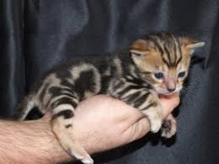 صور two beautiful Bengal kittens available. 2