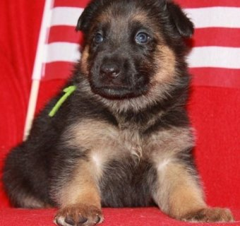 German Shepherd puppies for adoption.