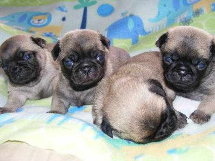 صور Outstanding male and female pug puppies for adoption 1