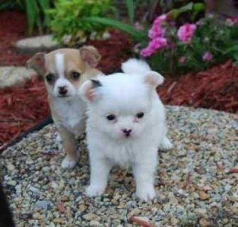 Adorable Tea Cup Chihuahua Puppies