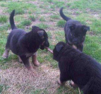 Two German shepherd puppies.