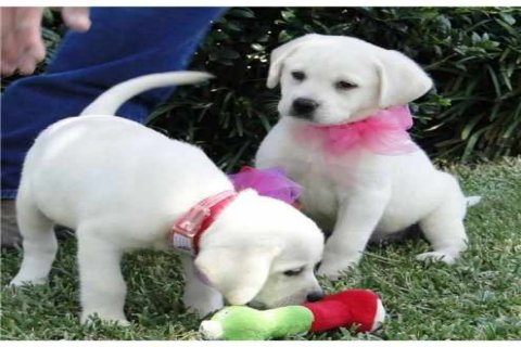 صور GOLDEN RETRIEVER PUPPIES 1