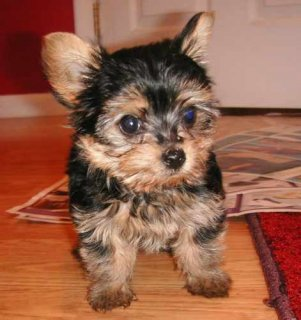 صور 2 Gorgeous Marvelous Yorkie Puppies 1