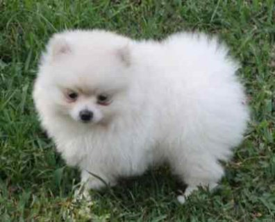 صور Lovely Female Pomeranian puppy 1