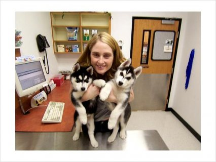 صور Siberian Husky mixed Puppies Availabe For Gifts To Love Ones 1