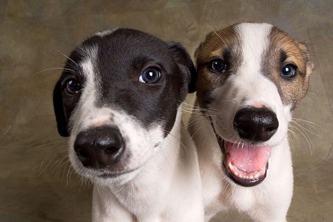 صور Greyhound Puppies for  For Sale  1