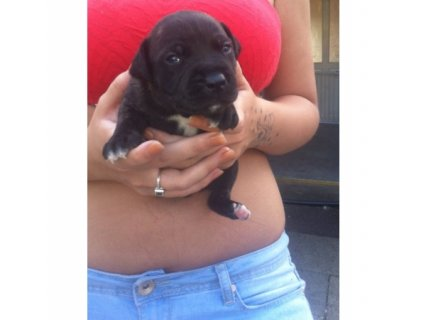 صور 2 staffordshire bull lterrier pups for sale	 1