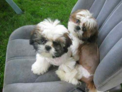 Pure &Pretty shih-tzu puppies