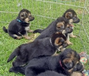 German Shepherd Puppies for exmass