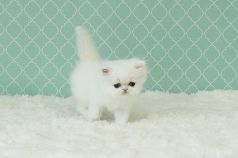 Beautiful Baby Persian Kittens Available