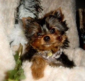 Male And Female Teacup Yorkie Puppies